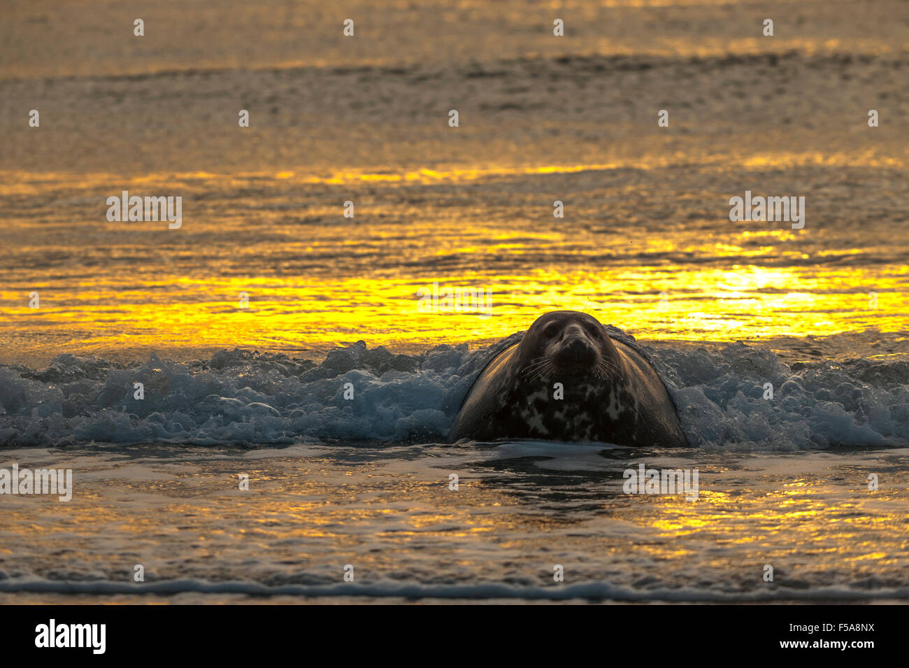 Grey seal (Halichoerus grypus) in water at sunrise, Heligoland, Schleswig-Holstein, Germany - Stock Image