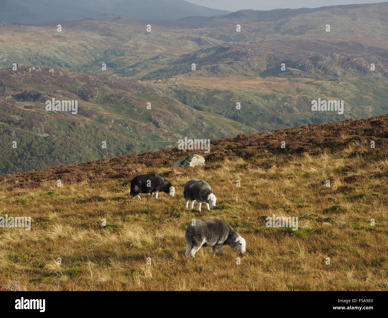 Herdwick sheep grazing on sunny rough grass fell above Borrowdale Cumbria  Lake District  with distant hills in - Stock Image