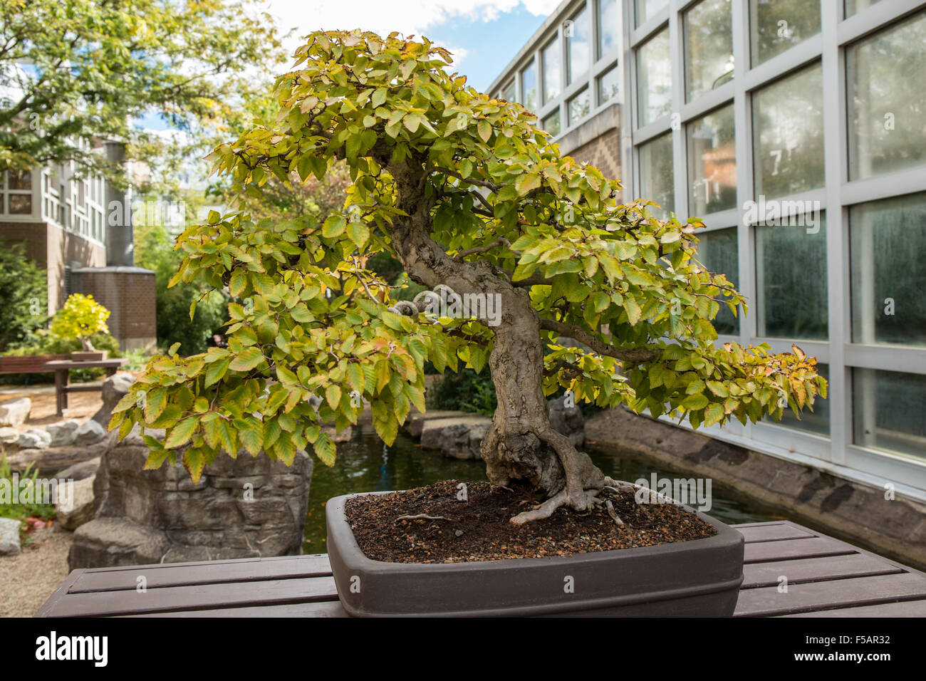 Korean Hornbeam Carpinus Turczaninovii Bonsai Tree In The Franklin Stock Photo Alamy