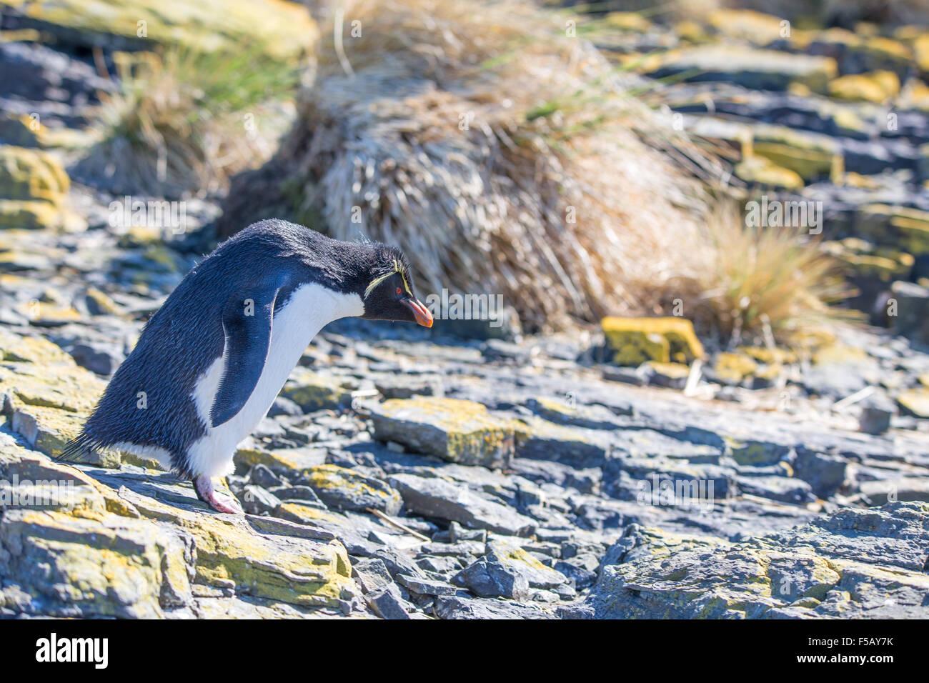 Rockhopper Penguin on rocks in colony Bleaker Island, Falkland Islands - Stock Image