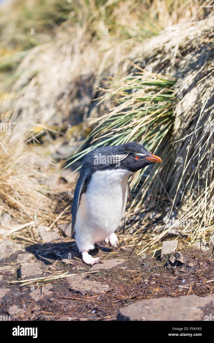 Rockhopper Penguin (Eudyptes chrysocome) walking into colony. Bleaker Island, Falkland Islands - Stock Image