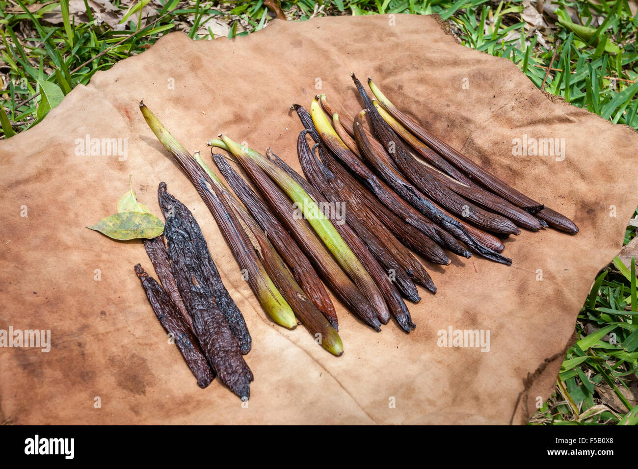 Vanilla pods dry in the sun in Papantla, Veracruz, Mexico. - Stock Image
