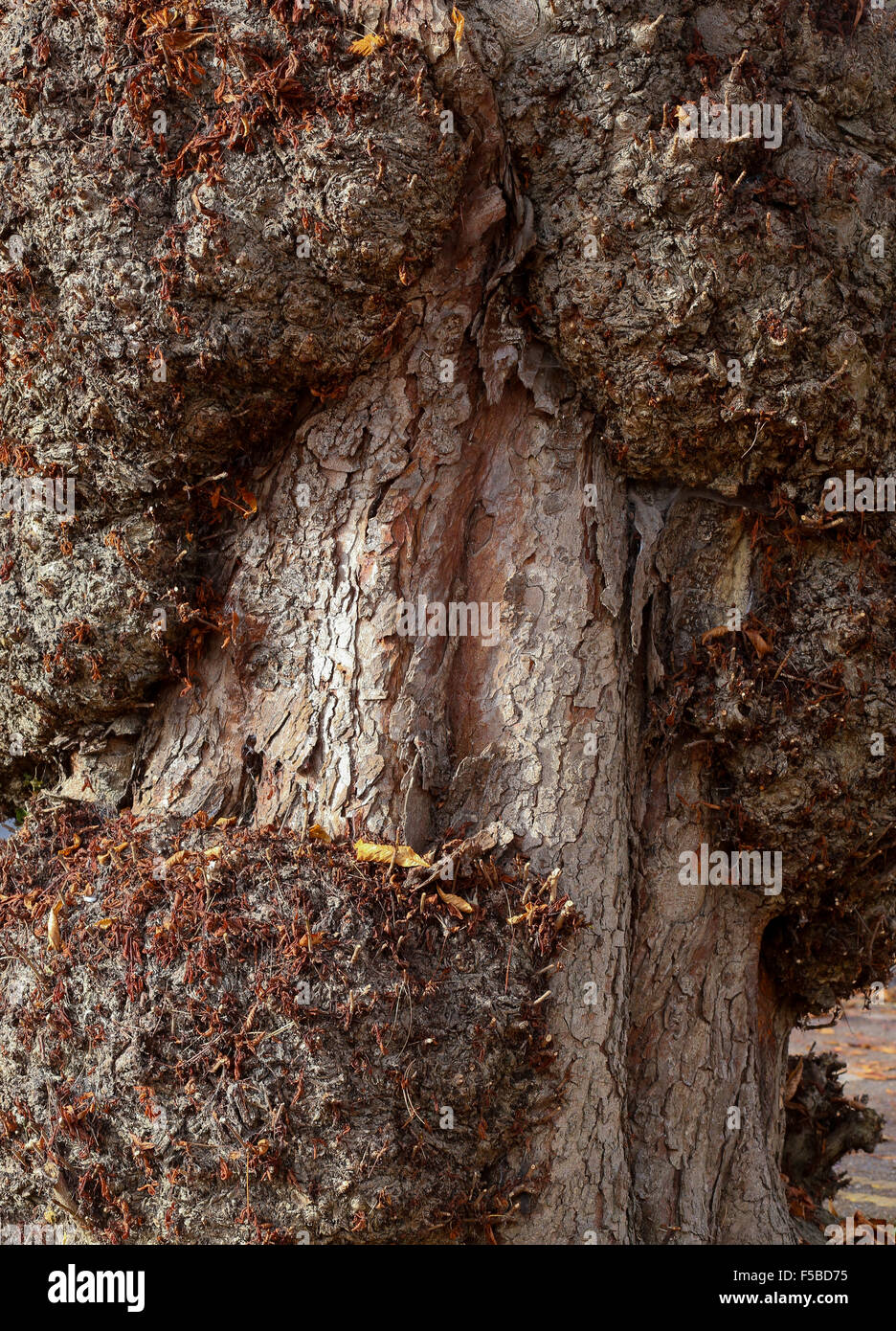 Autumn leaves on horse chestnut (Aesculus hippocastanum) with burrs on trunk with rough bark - Stock Image