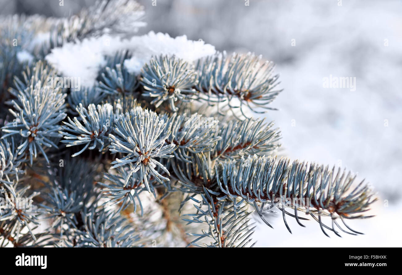 Christmas evergreen spruce tree with fresh snow - Stock Image