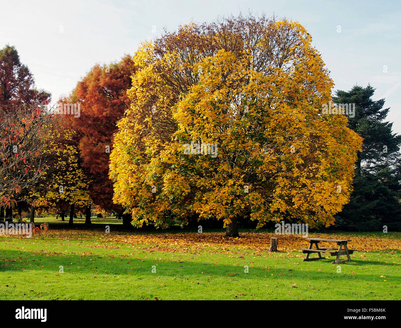 Brilliant autumn leaf colours in parkland at Sir Harold Hillier Gardens, Ampfield Hampshire - Stock Image