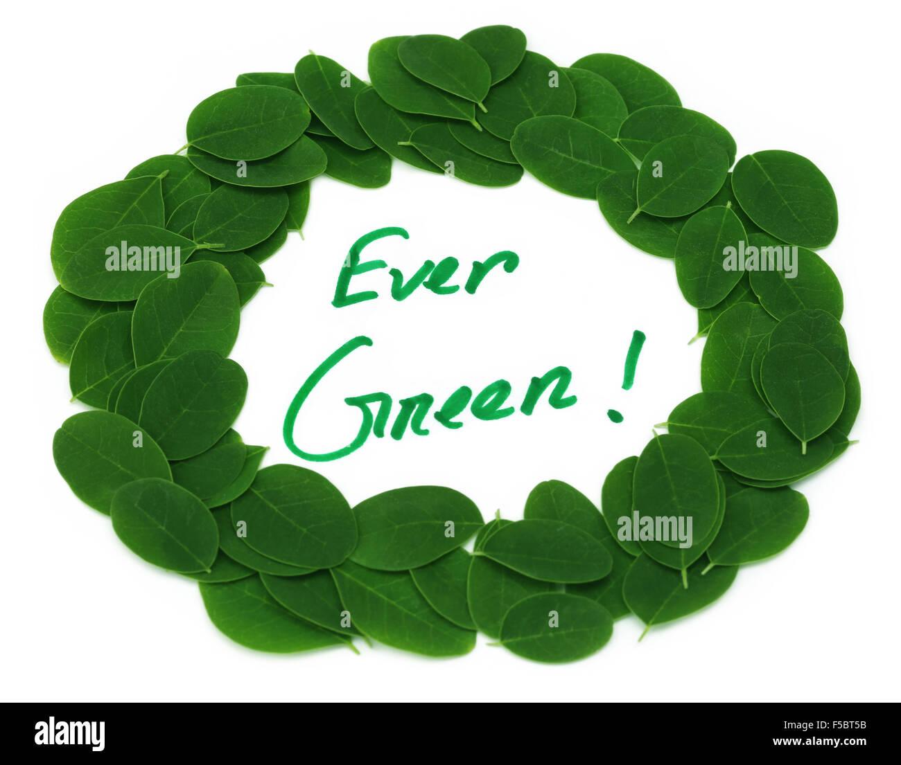 Ever Green written in Moringa leaves frame over white background - Stock Image