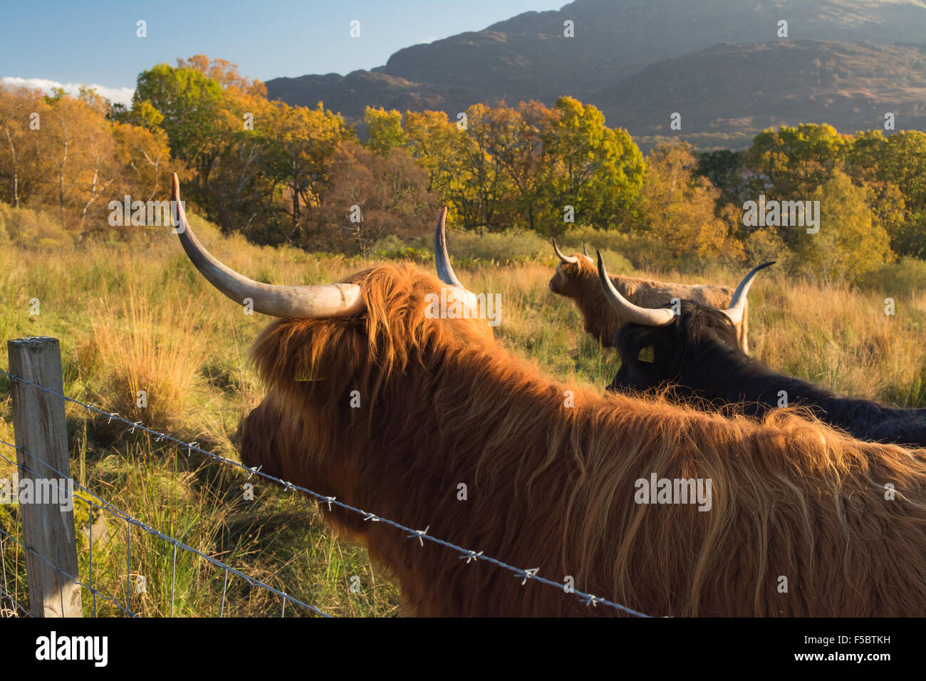 Loch Katrine, Scotland, UK - 1 November 2015: UK weather: the coats of the highland cattle match the colours of - Stock Image