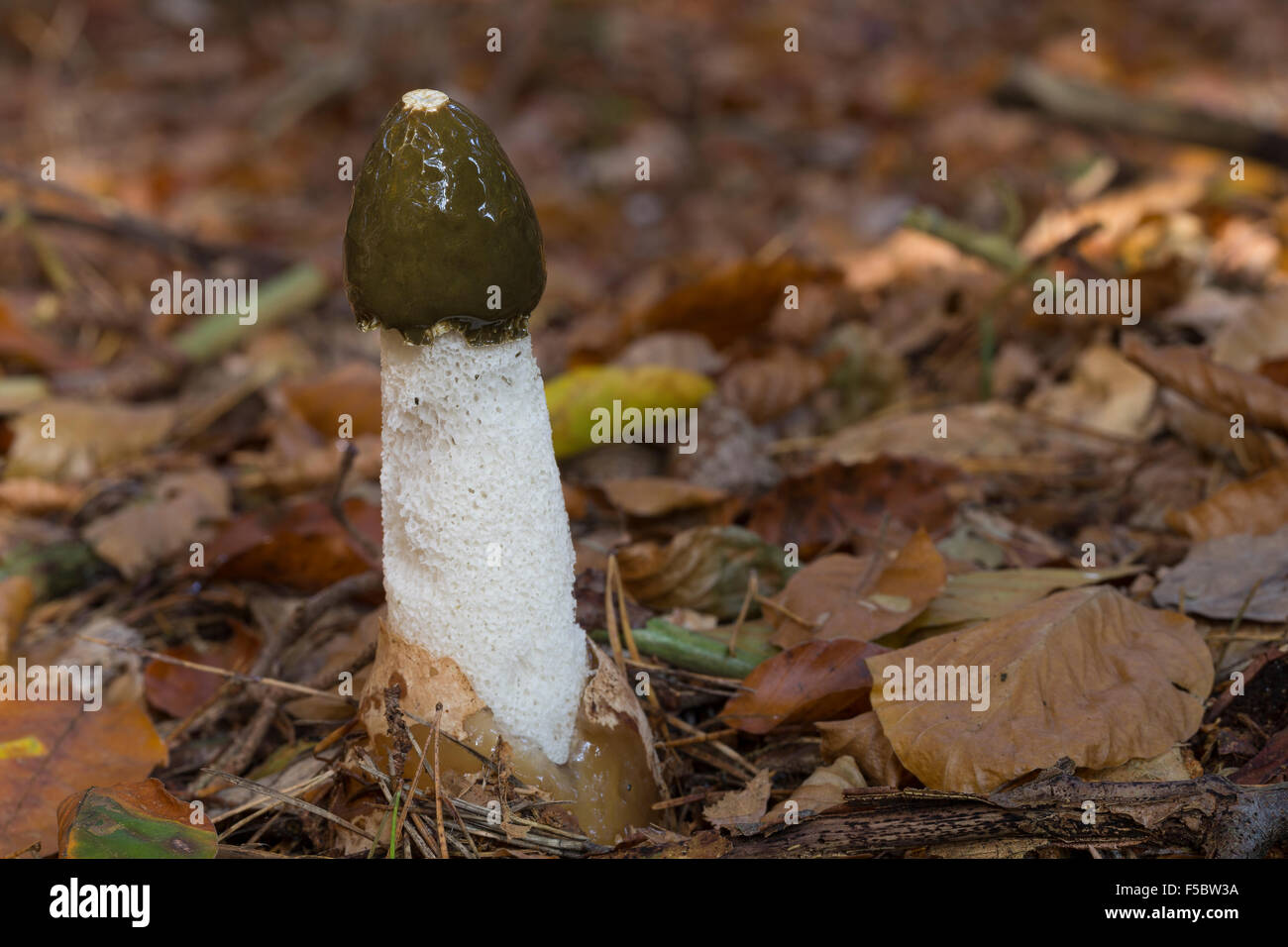 Common stinkhorn, common stink-horn, Gemeine Stinkmorchel, Stink-Morchel, Gichtmorchel, Leichenfinger, Phallus impudicus - Stock Image