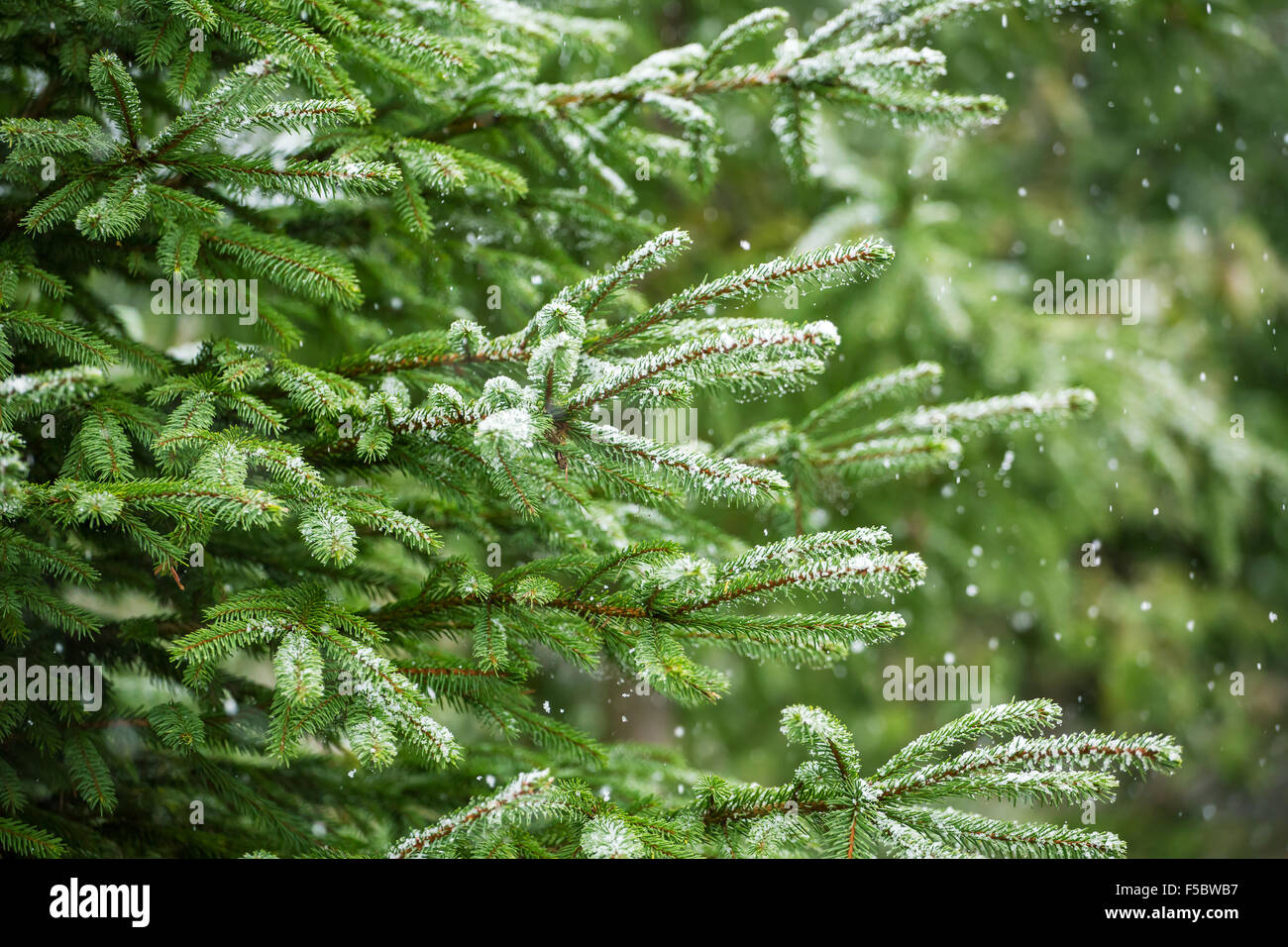 Snow fir tree branches under snowfall. Winter detail - Stock Image