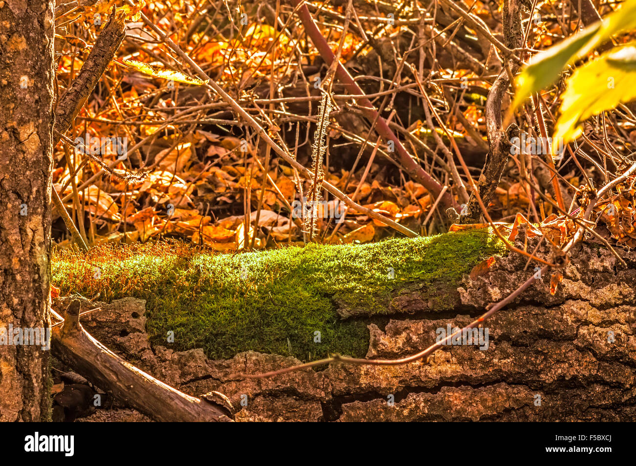 A fallen log, amongst the forest undergrowth, begins to succumb to moss. Stock Photo