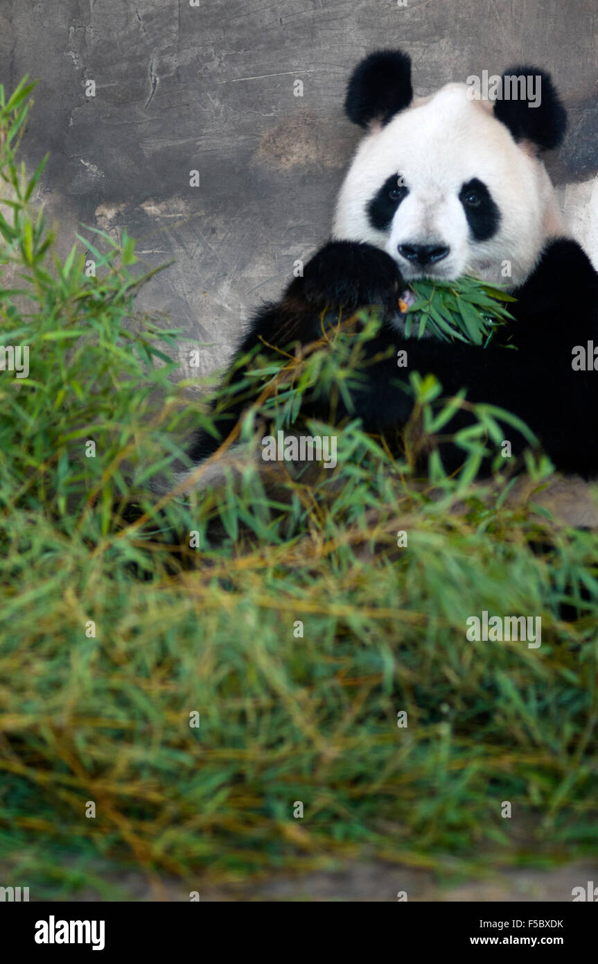 Giant Panda Bear in Shanghai, China. The panda (Ailuropoda melanoleuca, lit. 'black and white cat-foot'; - Stock Image