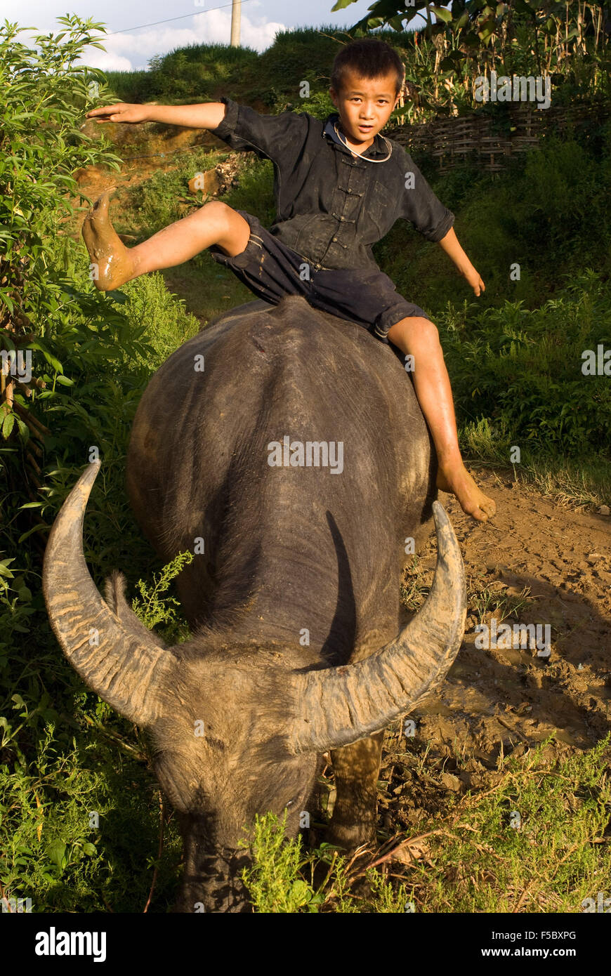 A child playing with a buffalo next to the rice terraces nearby of Lao Chai village. Trekking Sapa to Lao Chai. - Stock Image