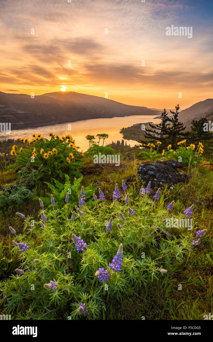 Lupine and balsamroot at Rowena Crest, Oregon, with sunrise over the Columbia River Gorge. - Stock Image