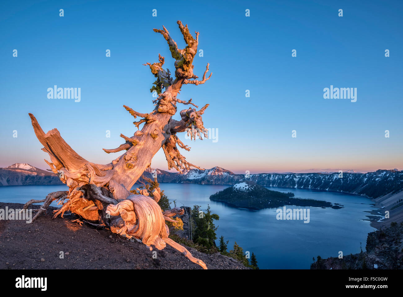 Whitebark pine snag overlooking Wizard Island at Crater Lake National Park, Oregon. - Stock Image