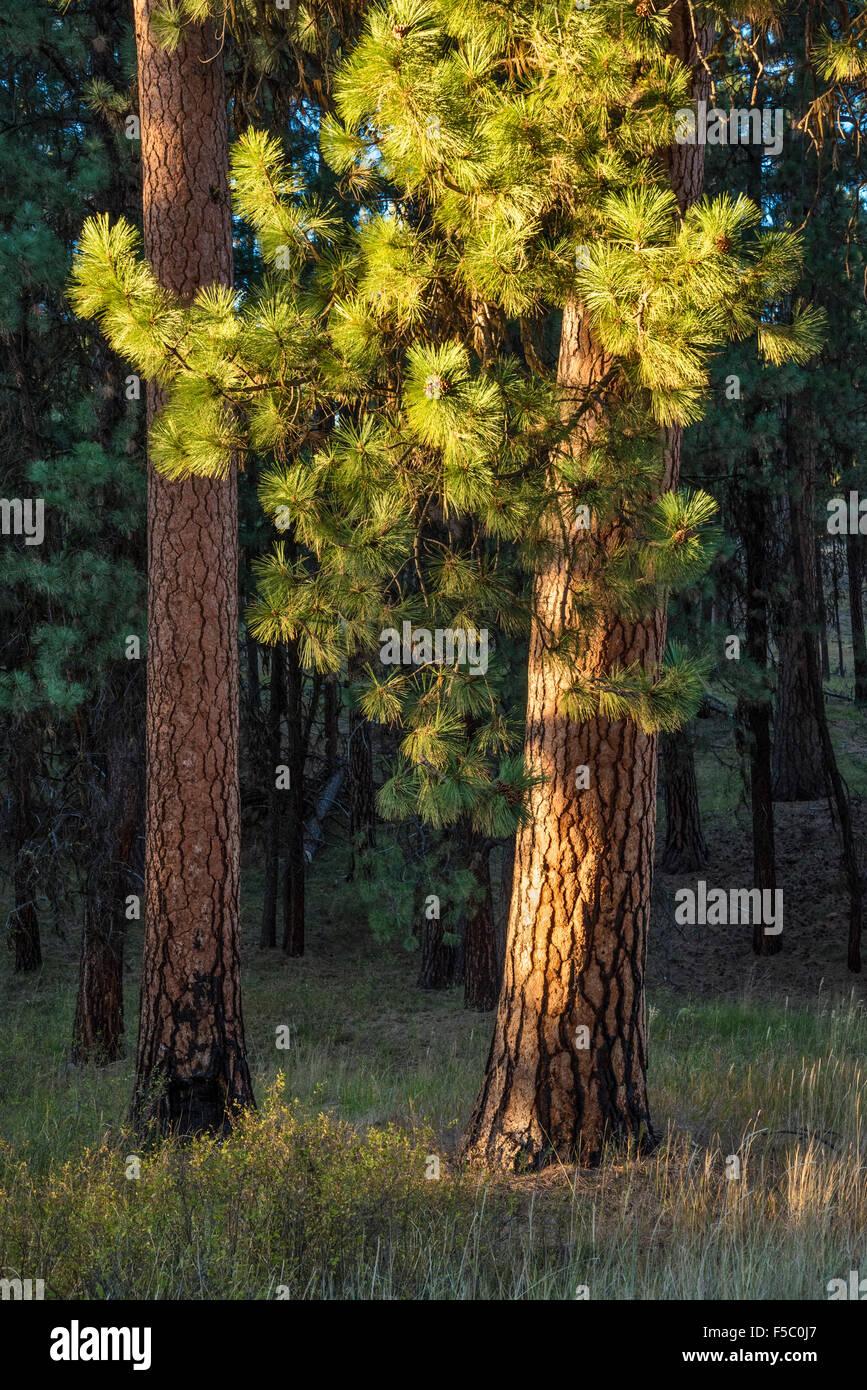 Ponderosa pine trees, Ochoco National Forest, easetern Oregon. - Stock Image