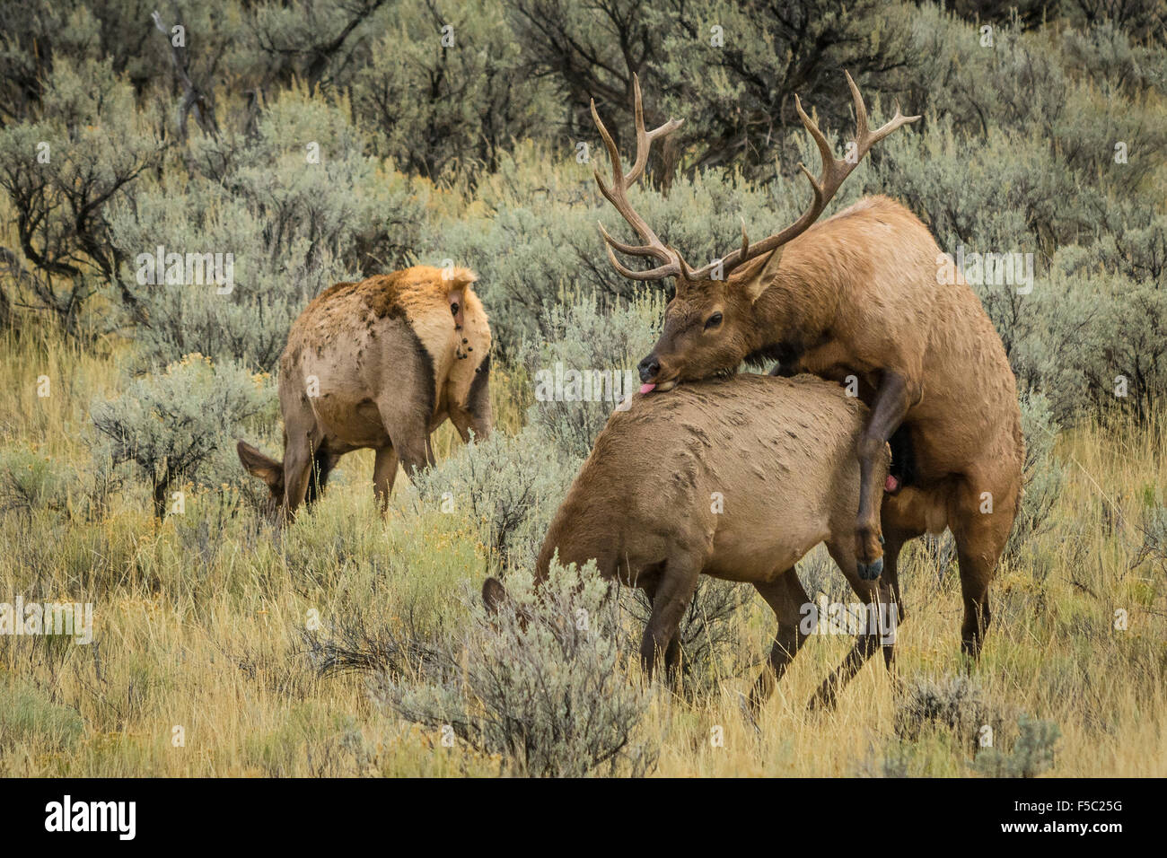 Elk mating; Yellowstone National Park, Wyoming. - Stock Image