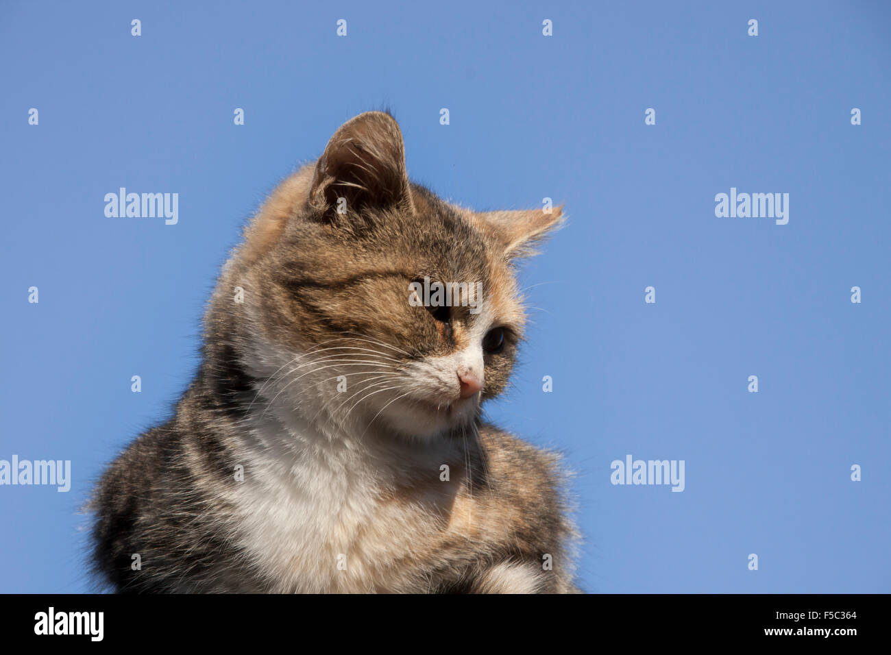 A Tabby house Cat sitting on a Roof, photographed close up with the blue Autumn Sky as backdrop. - Stock Image