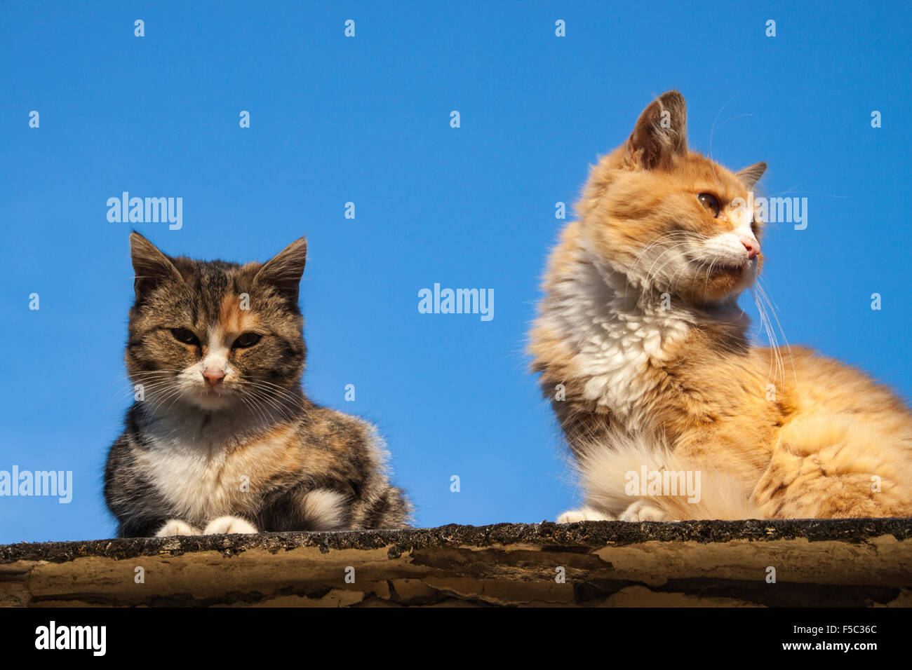 two house cats, one red and white, theo other tabby colored, sitting on top of a Roof. Backdrop blue Autumn Sky. - Stock Image
