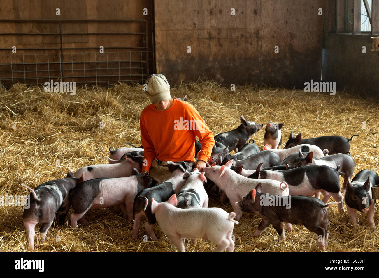 Young farmer communicating with weaner piglets. - Stock Image