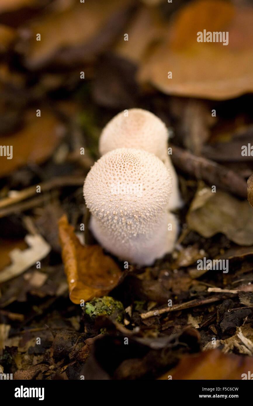 Lycoperdon perlatum. Common puffball fruiting in woodland leaf litter. - Stock Image