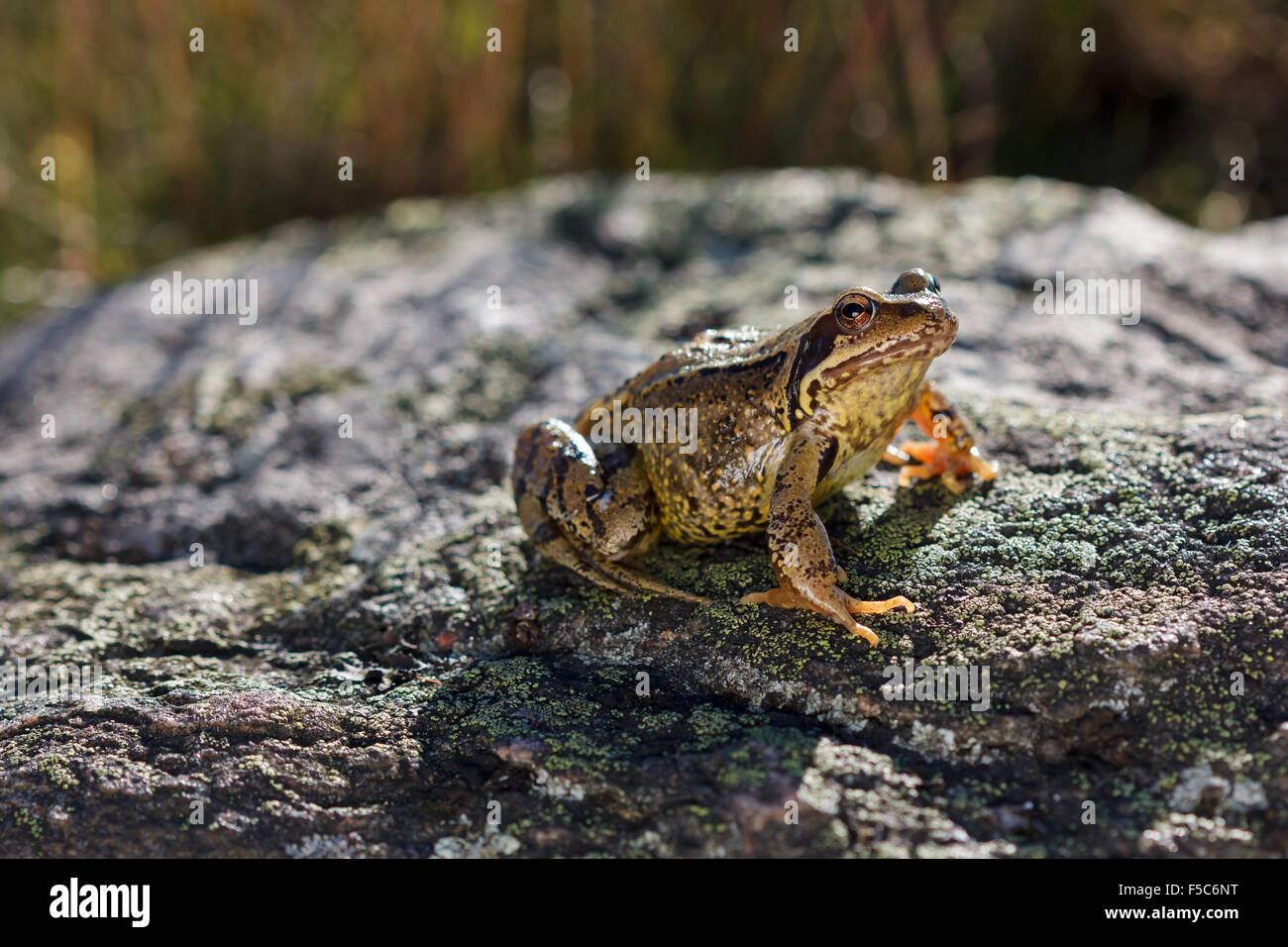 Common Frog (Rana temporaria) sitting on a stone - Stock Image