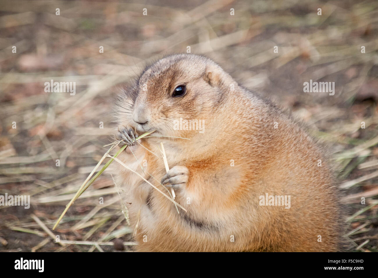 An Obese Black Tailed Prairie Dog Cynomys Ludovicianus Feeding On