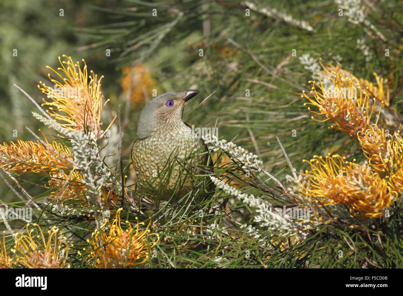 Satin bowerbird female in a banksia tree - Stock Image