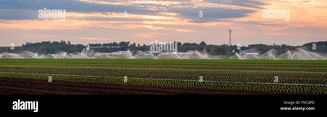 A panoramic image of irrigation pipes watering a field in the Holland Marsh, King Township, Ontario, Canada. - Stock Image