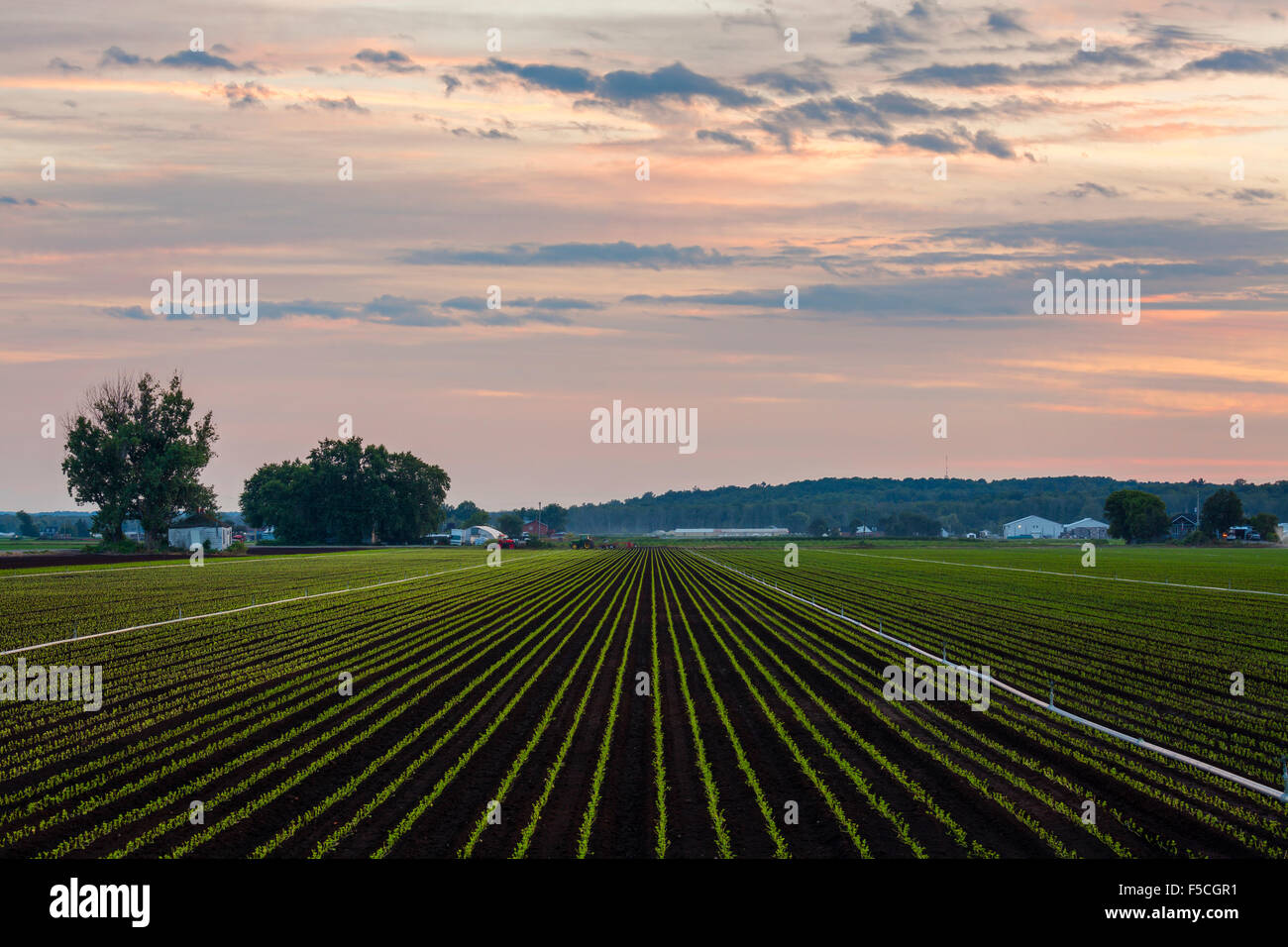Agricultural crops in the Holland Marsh at sunset. King Township, Ontario, Canada. - Stock Image