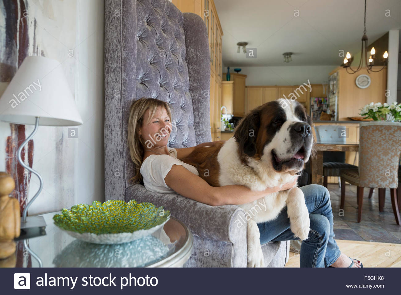 Saint Bernard dog sitting on woman's lap armchair - Stock Image