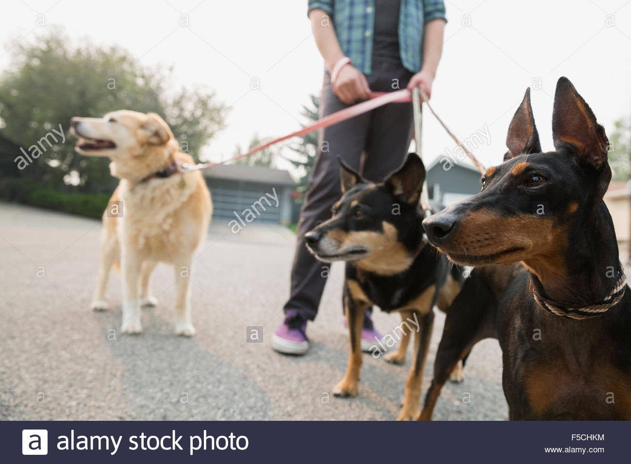 Man walking dogs on leashes - Stock Image
