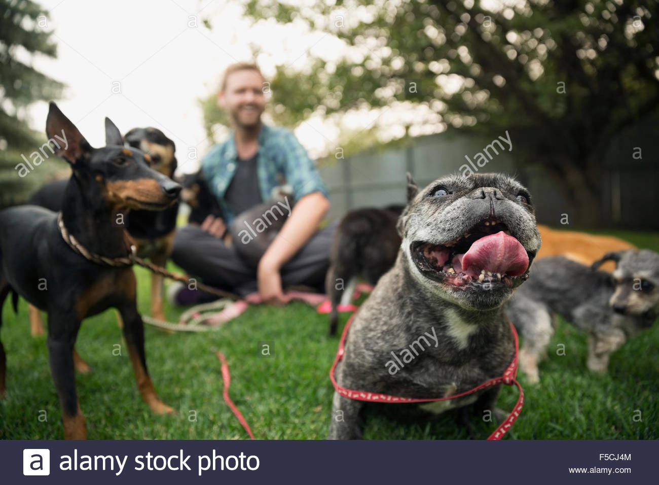 Man with dogs on leashes sitting in grass - Stock Image