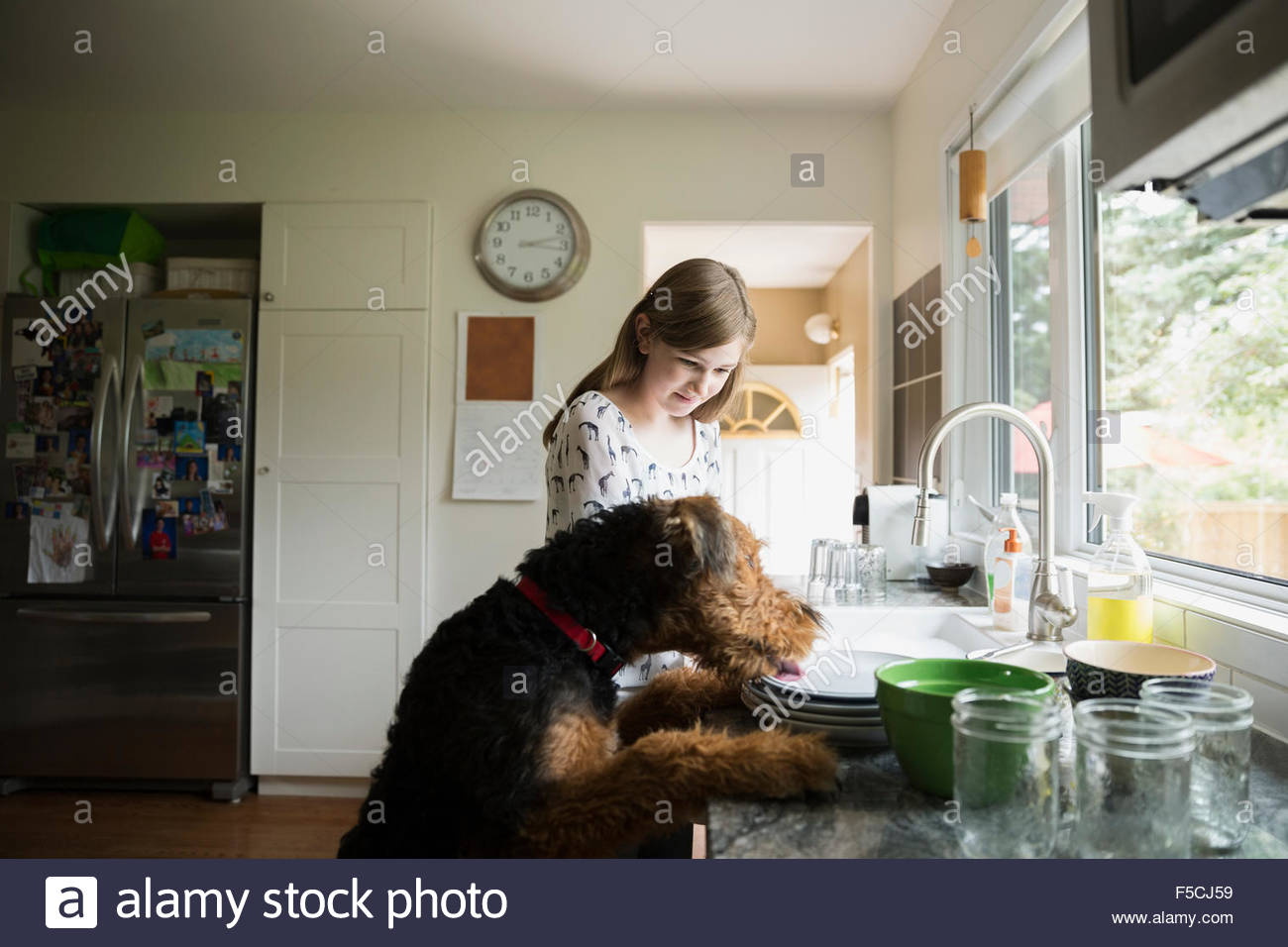 Dog jumping on counter licking plates - Stock Image