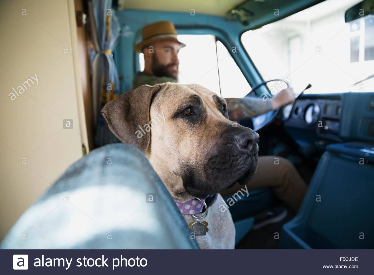 Dog riding in van with man - Stock Image