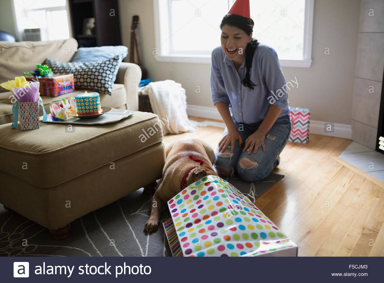 Dog opening birthday gift in living room - Stock Image