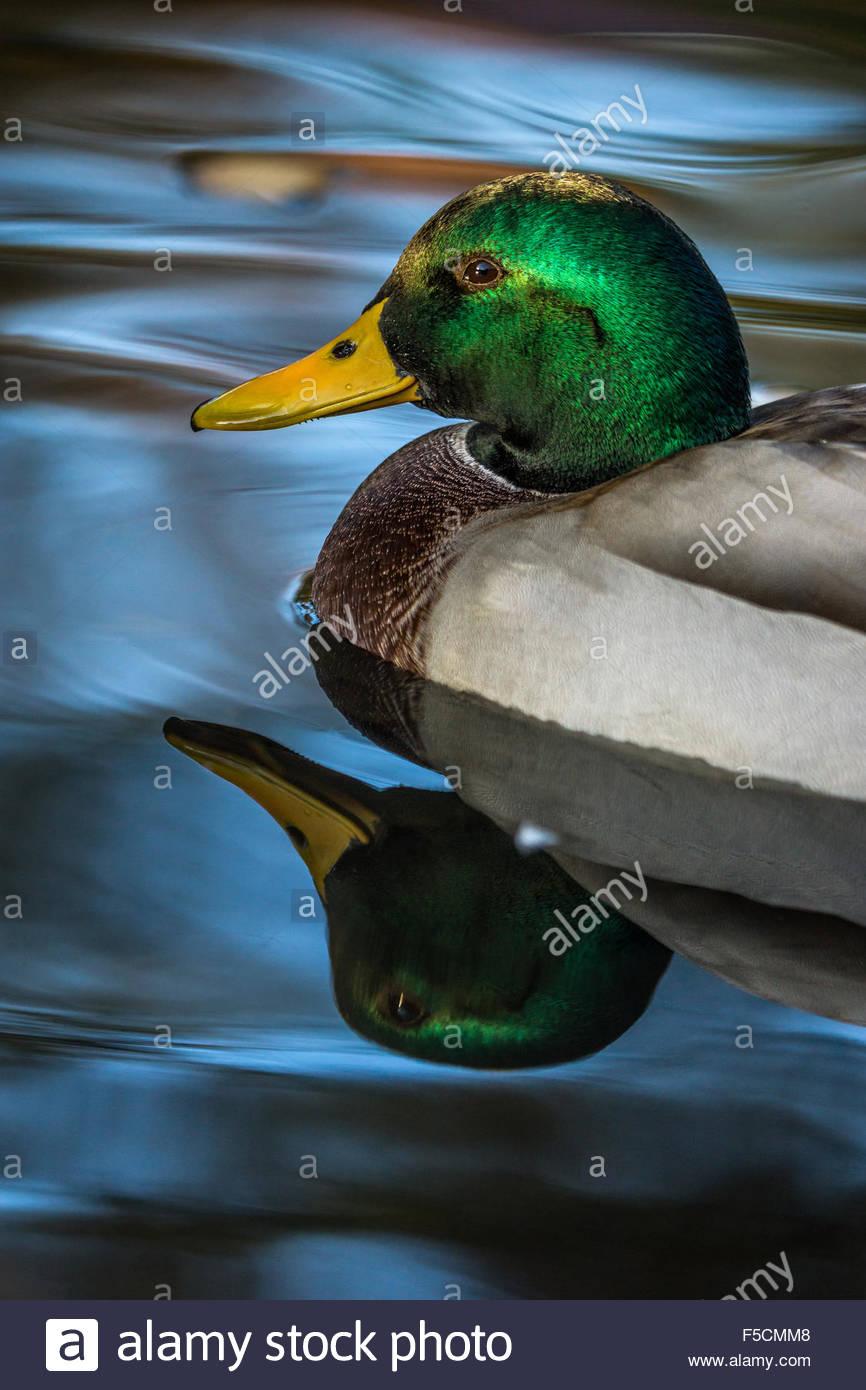 Mallard - wild duck - Anas platyrhynchos - male - Stock Image