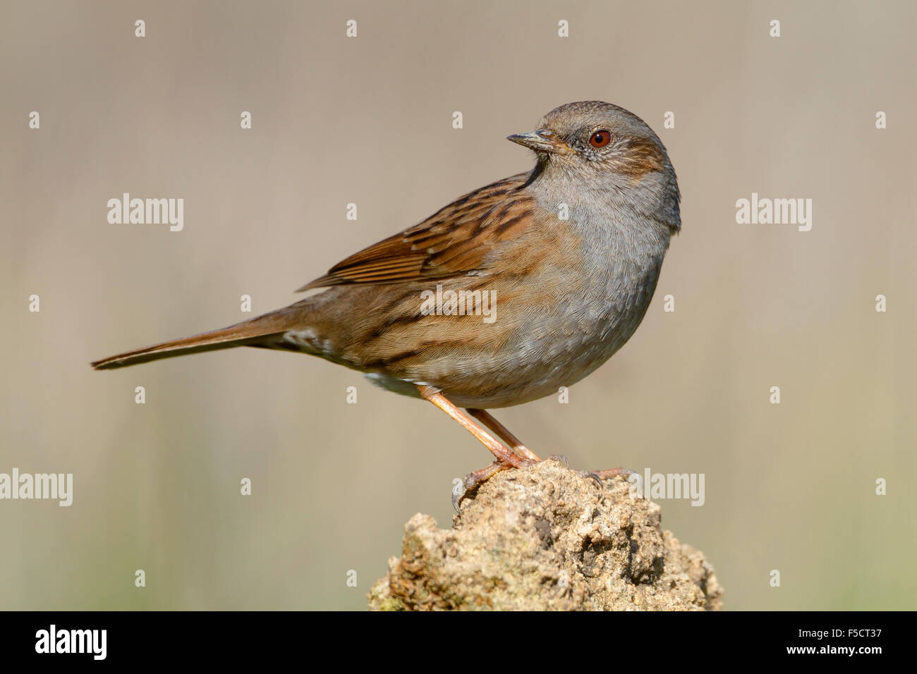 Dunnock, Adult perched on a stone, Campania, Italy (Prunella modularis) Stock Photo