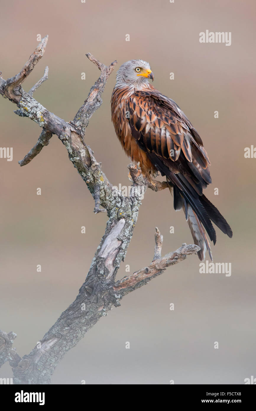 Red Kite, Adult perched on a dead tree, Basilicata, Italy - Stock Image