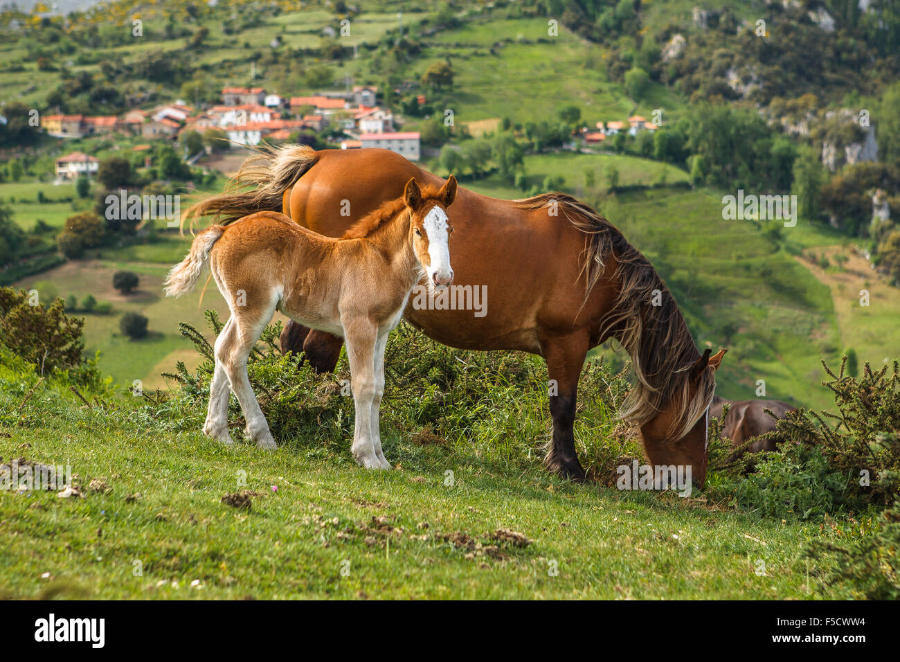 Two horses (a broadmare and her foal) in Pendes, by the Picos de Europa National Park, Liébana, Cantabria, - Stock Image
