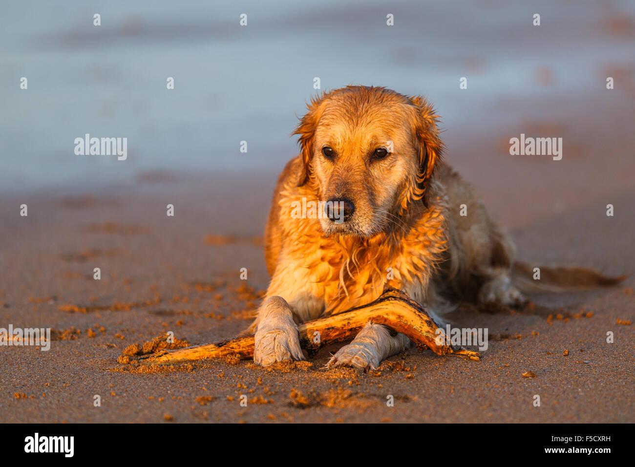 A Golden Retriever Puppy Relaxing At The Beach By Sunset Valdearenas Stock Photo Alamy