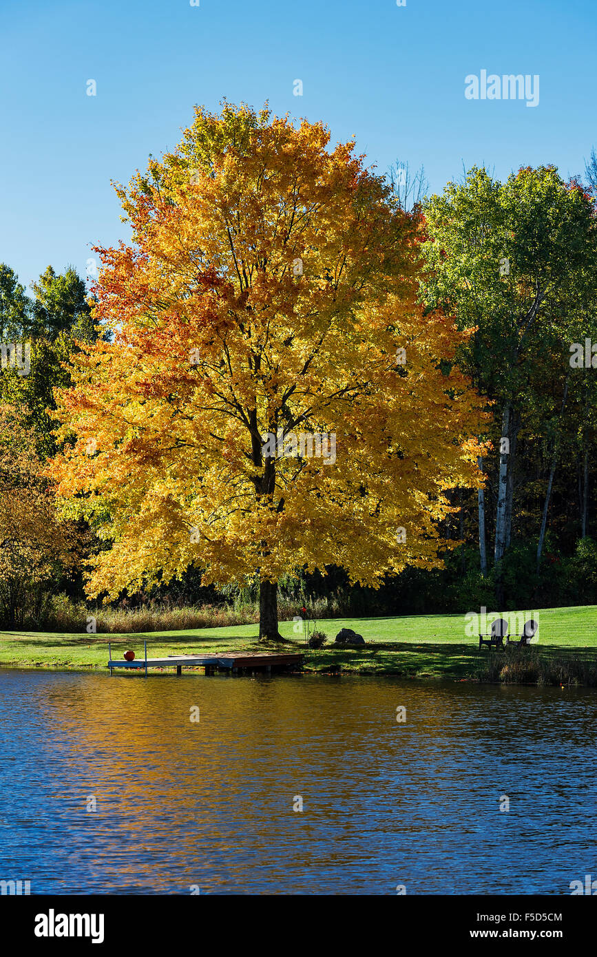 Golden autumn color maple tree on the edge of a quiet pond, Madison, New York, USA - Stock Image
