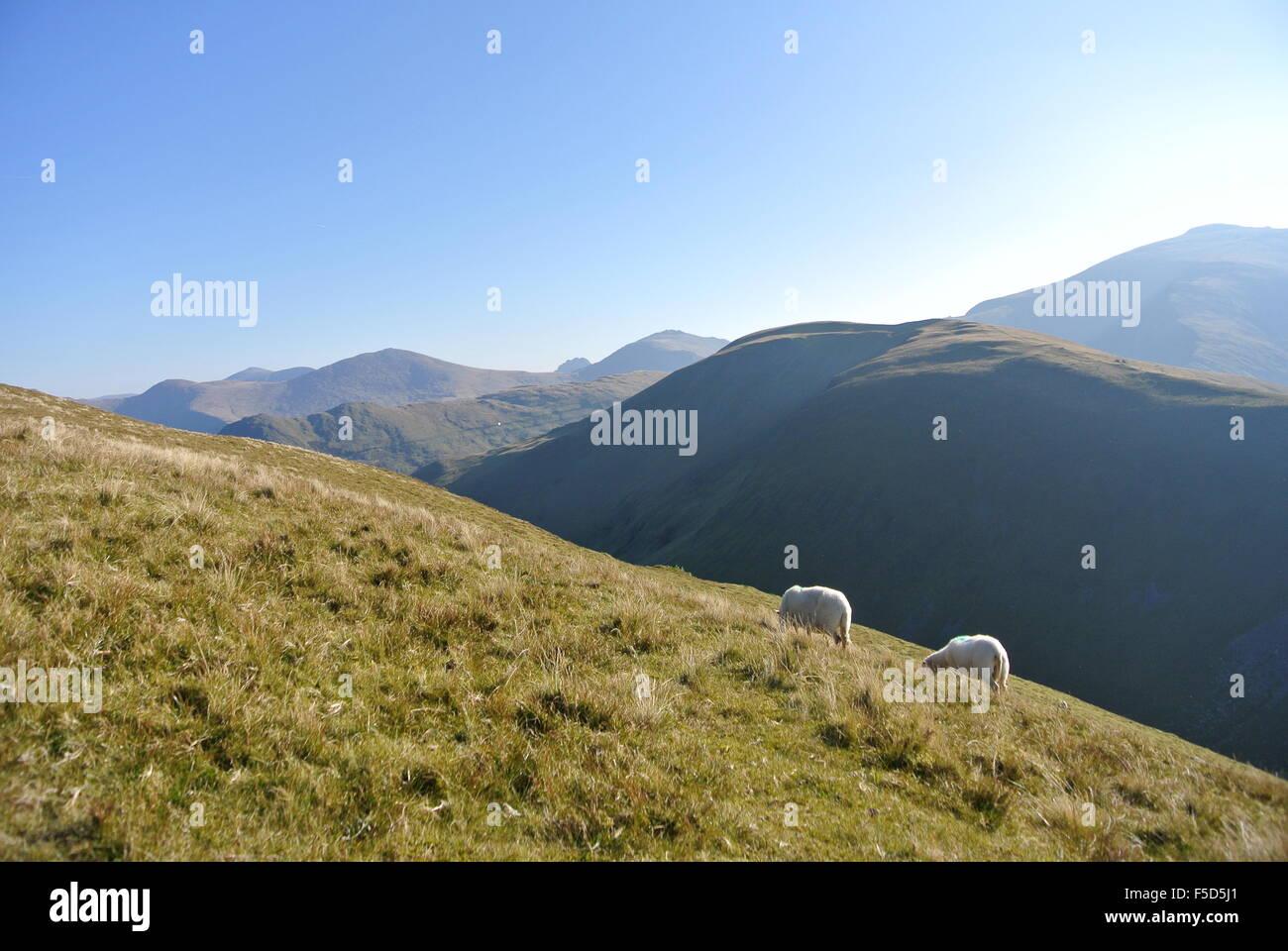 Sheep in Snowdonia, Wales Stock Photo