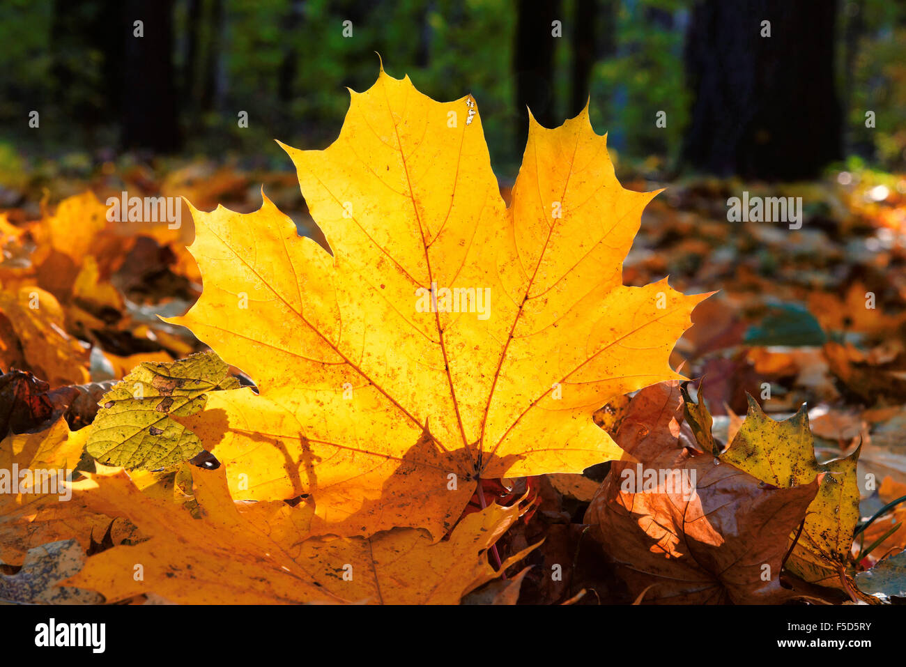 Colorful autumn maple leaves - Stock Image