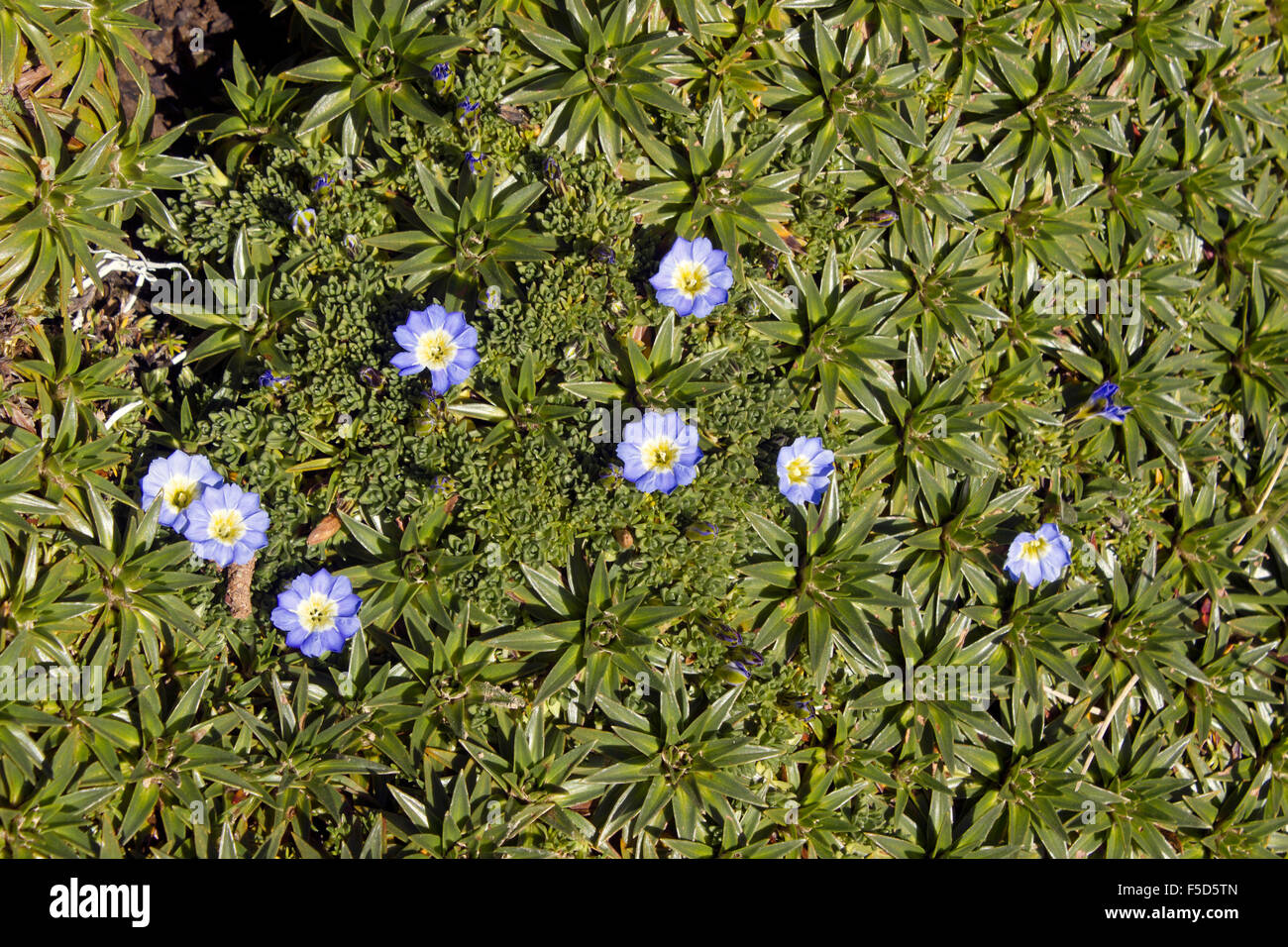Gentians (Gentiana sedifolia) growing on the high paramo at 4,500m elevation in the Ecuadorian Andes - Stock Image