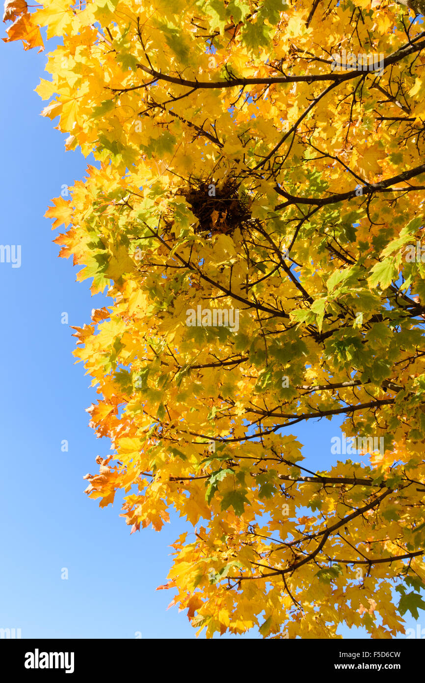 Sycamore tree leaves changing colour at the start of Autumn - Stock Image