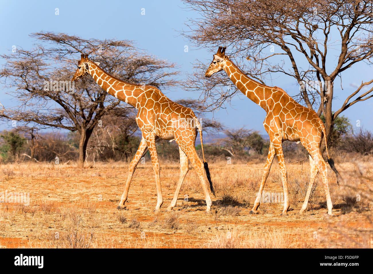 Reticulated giraffes or Somali giraffes (Giraffa reticulata camelopardalis) walking past acacia (Acacia sp.) trees - Stock Image