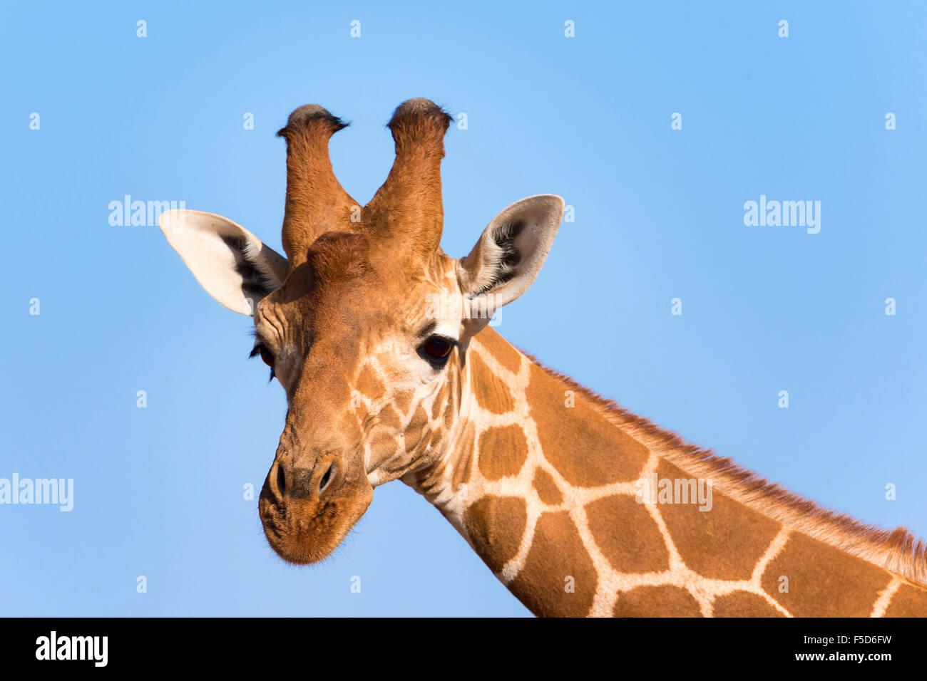 Reticulated giraffe or Somali giraffe (Giraffa reticulata camelopardalis), portrait, Samburu National Reserve, Kenya Stock Photo