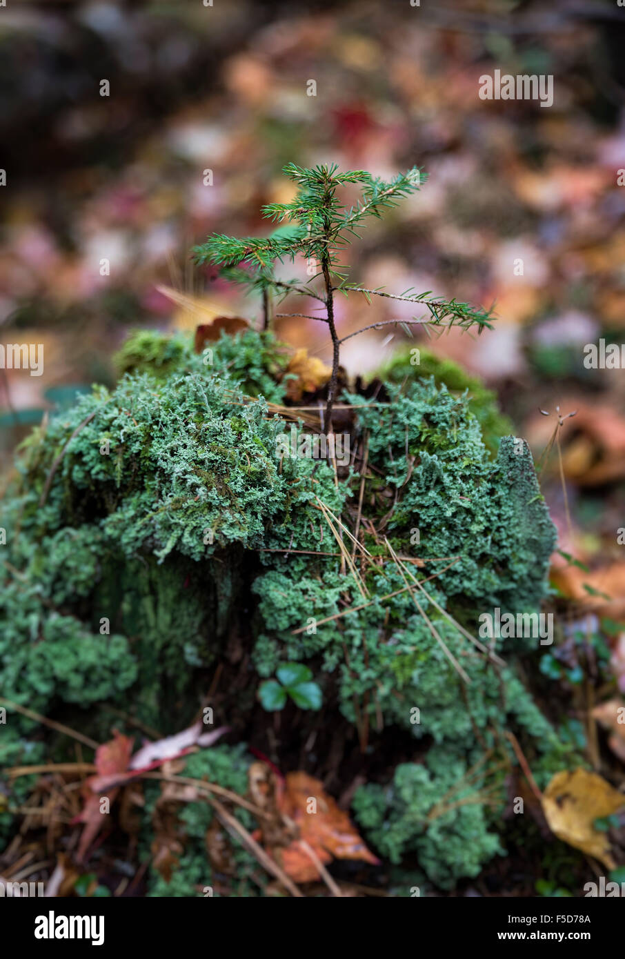 Fragile conifer seedling growing from the decayed trunk of a tree, New Hampshire, USA Stock Photo