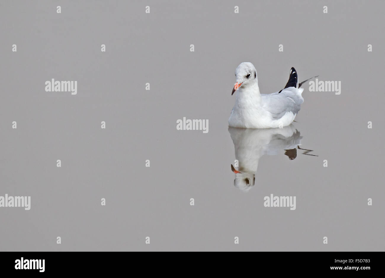 Black-headed Gull in winter plumage on reflective water Stock Photo