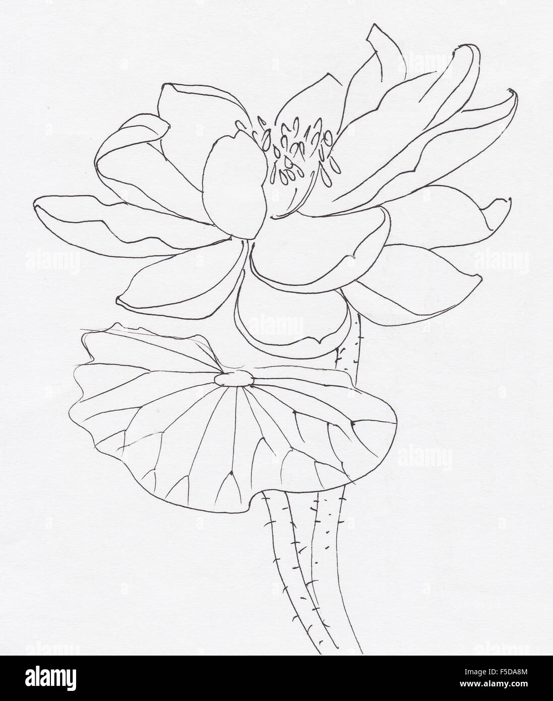 Lotus Flower Line Art Ink Stock Photos Lotus Flower Line Art Ink